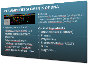 How is it that the polymerase chain reaction (PCR) can make numbers of copies of a piece of DNA?