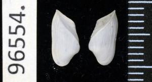 Corbula cadenati