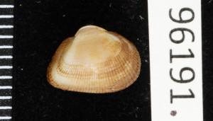 Noetiella congoensis