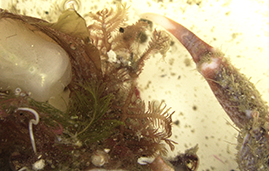 Front end of a Hyas crab carrying Hydrozoa and other organisms.