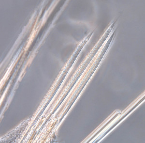 Verticilate chaetae from one of the polycirrinae species photographed through a microscope (photo: MHL)