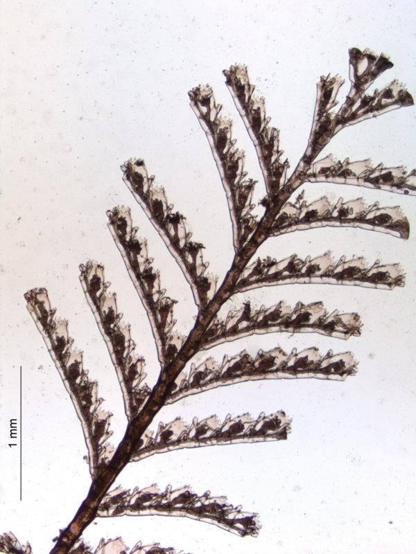 A. latecarinata