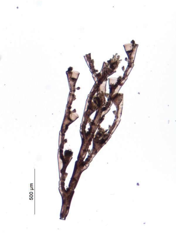 P. setacea