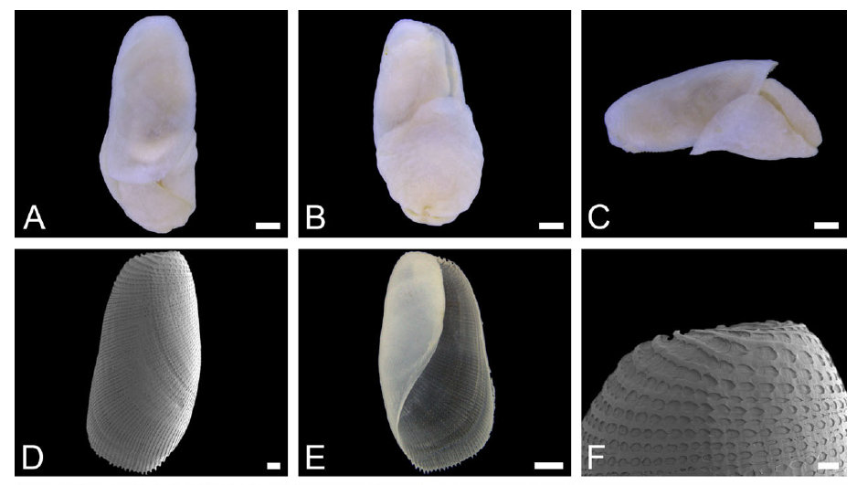 Philine cerebralis sp. nov. (ZMBN 105802, H = 3.6 mm, holotype). A, dorsal view of complete animal. B, ventral view of complete animal. C, right lateral view of complete animal. D, dorsal view of shell (SEM). E, ventral view of shell (automontage image). F, detail of dorsal view of shell (SEM).