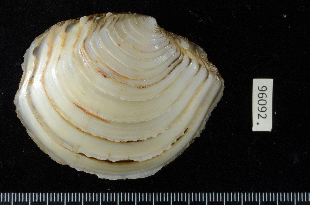 Falsolucinoma leloeuffi (Cosel, 1989)