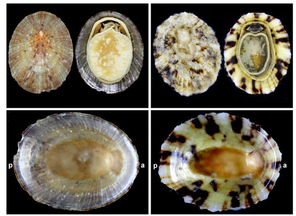 Comparison of two morphological extremes between specimens of the species Cellana sp. (left column: shell length = 31.8 mm, width = 25.5 med mer; right column: shell length = 12.9 mm, width = 10.2 mm). Abbreviations: a: anterior. p: posterior.